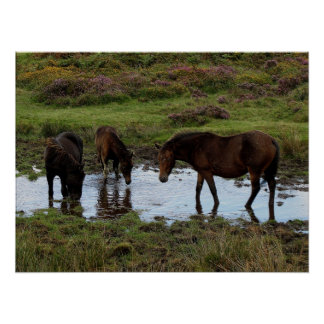 Three Dartmoor Ponies Drinking At Watering Hole Poster