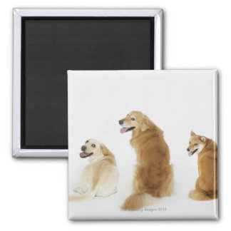 Three dogs looking at camera square magnet