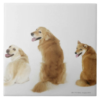 Three dogs looking at camera tile