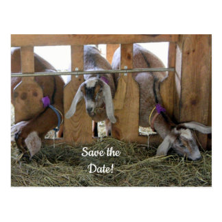 Three Goats Save the Date Postcard