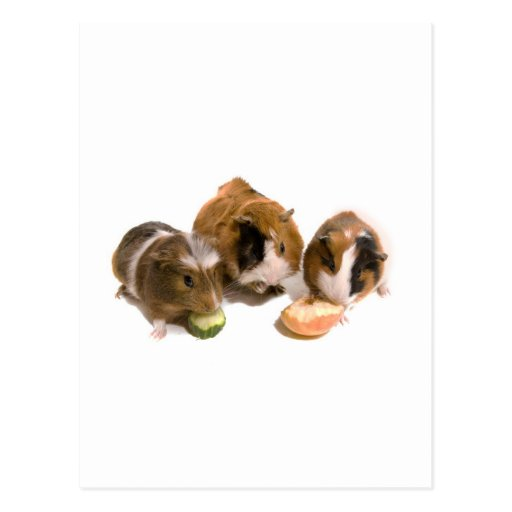 three guinea pigs who eat, post cards