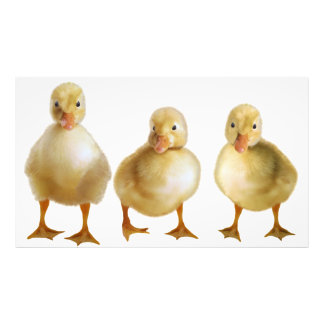 Three little ducklings photo print