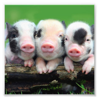 Three little pigs - cute pig - three pigs photo print