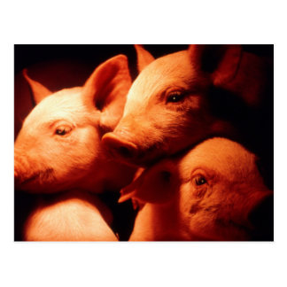 Three Little Pigs Postcard