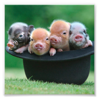 Three little pigs - three pigs - pig hat photo print
