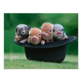 Three little pigs - three pigs - pig hat poster