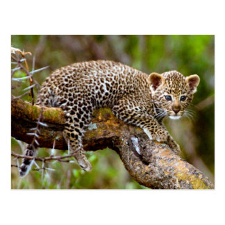 Three Month Old Leopard (Panthera Pardus) Cub Postcard