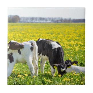 Three newborn calfs in spring dandelions meadow small square tile