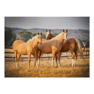 Three Palomino Ponies Poster