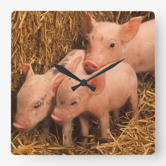 three piglets square wall clock