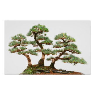 three pine bonsai trees poster