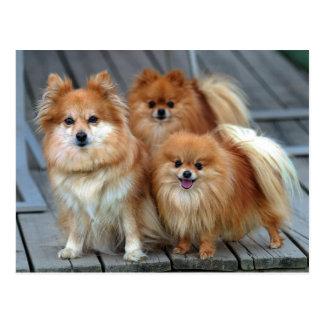 Three Pomeranians Postcard