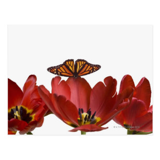 Three red tulips and a monarch butterfly against postcard