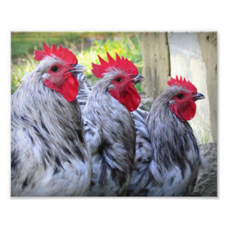 Three Roosters Photo Print
