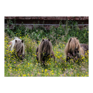 Three Shetland pony stallions in a field Poster
