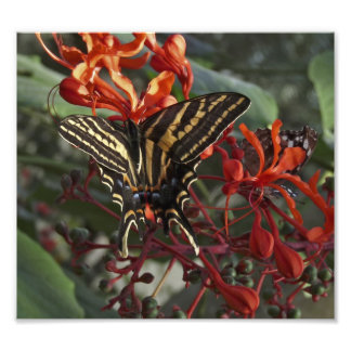 Three Tailed Tiger Swallowtail Butterfly. Art Photo