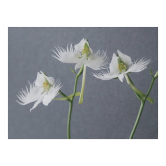 Three White Egret Orchids Poster