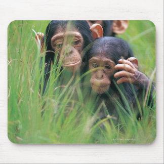 Three young Chimpanzees (Pan troglodytes) in Mouse Pad