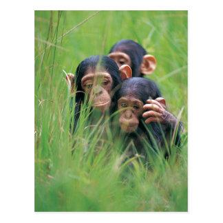 Three young Chimpanzees (Pan troglodytes) in Postcard