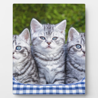 Three young silver tabby cats in checkered basket plaque
