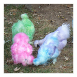 Tie Dyed Silkie Chickens in Pastel Easter Colors Photographic Print