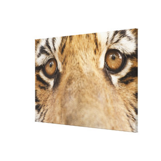 Tiger 2 gallery wrapped canvas
