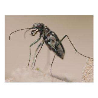 Tiger Beetle, Cicindela ocellata, adult on sand, Postcard