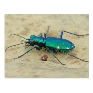 Tiger Beetle Postcard
