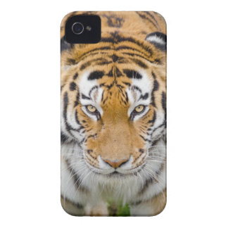 Tiger Beside Tree iPhone 4 Cover