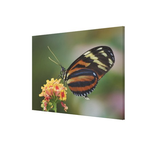 Tiger butterfly, Heliconius ismenius Canvas Print