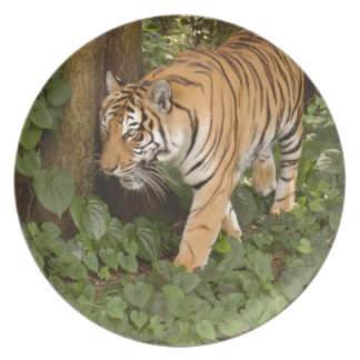 Tiger-China-Doll-b-13 Party Plate