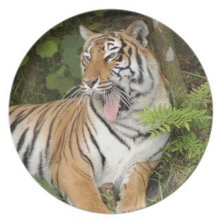 Tiger-China-Doll-b-19 Dinner Plates