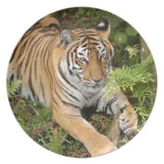 Tiger-China-Doll-b-22 Dinner Plates