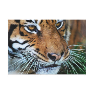 Tiger close up stretched canvas print