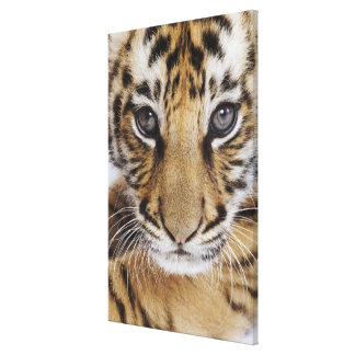 Tiger Cub (2 Month Old) Stretched Canvas Prints