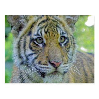 Tiger Cub Close Up Portrait Postcard