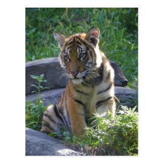 Tiger Cub Portrait Postcard