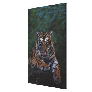 Tiger Cub Reclines on Rock Gallery Wrap Canvas