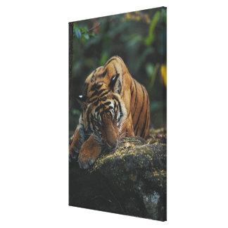 Tiger Cub Sleeps on Rock Stretched Canvas Prints