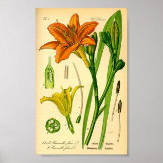 Tiger Daylily (Hemerocallis fulva) Poster