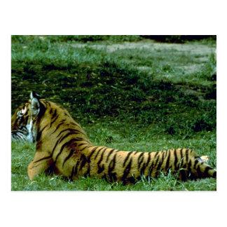 Tiger Full Length Resting, Profile Postcard