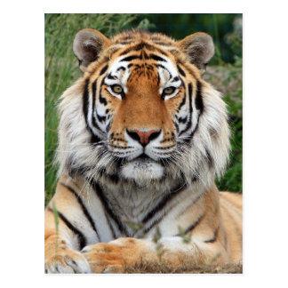 Tiger head male beautiful photo postcard