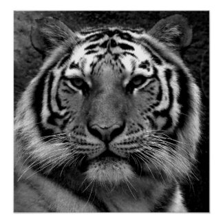 Tiger in Black & White Poster