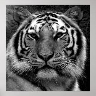 Tiger in Black & White Poster