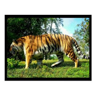 Tiger in mid-stride postcard