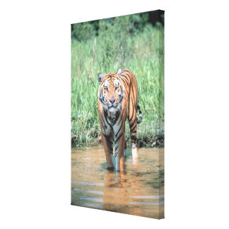 Tiger in water stretched canvas print