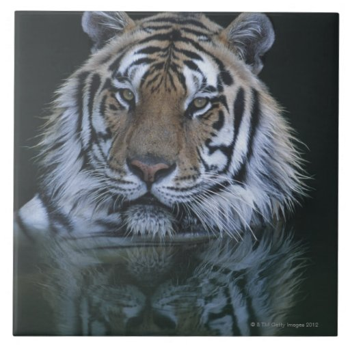 Tiger in Water Tile
