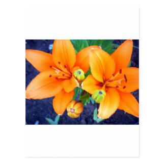 Tiger Lillies 3.jpg Postcard