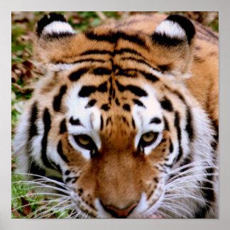 Tiger Markings  Poster Print
