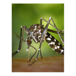 Tiger mosquito postcard